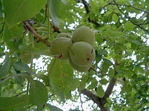 Honig – in der Volksmedizin ein traditionelles Heilmittel