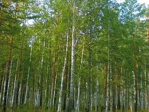 Birke, heilende Kraft, Baum-Spender