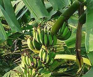 Musa, Banane, Kulturpflanze
