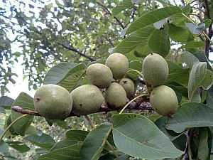 Walnuss (Juglans regia) – eine traditionelle Heilpflanze
