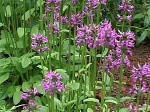 Stachys officinalis, Betonica officinalis, Heil-Ziest, Ziest, Heilpflanze