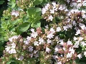 Origanum vulgare, Oregano, Heilpflanze
