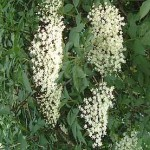 Blütenstand Schwarzer Holunder, Holunder, Heilpflanze