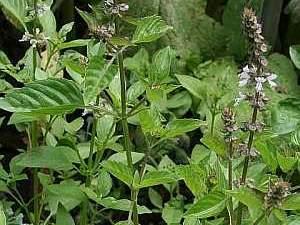 Basilikum (Ocimum basilicum) – eine alte Heilpflanze