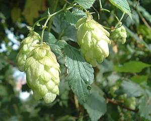 Hopfen (Humulus) – eine alte Heilpflanze