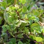 Echter Kapernstrauch Heilpflanze
