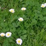 Gänseblümchen Maßliebchen Tausendschön