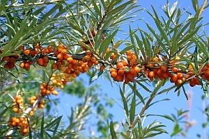 Sanddorn (Hippophae rhamnoides) – eine nützliche Heilpflanze