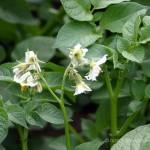 Kartoffel Kulturpflanze
