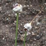 Knoblauch Heilpflanze