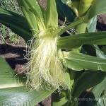 Maisbart Maisgriffel Maisnarben